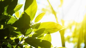 Green Leaves In The Sun. Green leaves of a plant receiving sunlight stock video footage