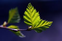 Green leaves with sun ray Royalty Free Stock Photo