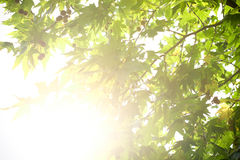 Green leaves with sun ray. Green tree leaves with sun ray Stock Photography