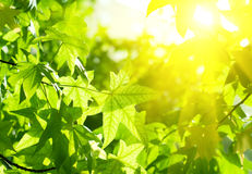 Green leaves with sun ray. Picture of green leaves with sun ray Royalty Free Stock Photos