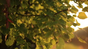 Green leaves with sun ray close up on sunset stock video