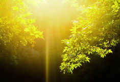 Green leaves and sun. Green leaves with sun ray in the forest Royalty Free Stock Image