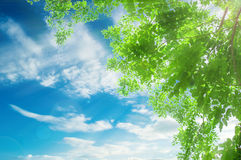 Green leaves and the sun on the sky background. Garden royalty free stock photos
