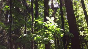 Green leaves and sunbeams. Morning sun shining through green leaves in a forest. Peaceful scenery stock video