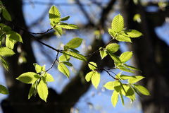 Green leaves in the sunlight Stock Photography