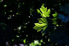 Green leaves with sunlight passing through stock images