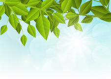 Green leaves on sunny background Stock Image