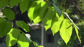 Green leaves in sunny day stock footage