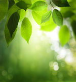 Green leaves in sunny forest Royalty Free Stock Photos