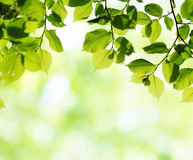 Green leaves in sunny spring day Royalty Free Stock Image