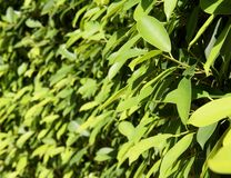 Green leaves in the sunshine Royalty Free Stock Photo
