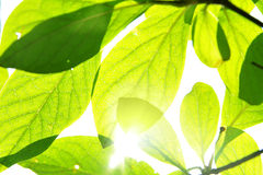 Green leaves and sunshine Stock Image