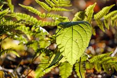 Green leaves in sunshine
