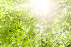 Green leaves and sunshine Stock Images