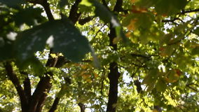 Green leaves sway from the wind in the tree stock video