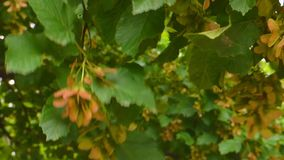 Green leaves. Swaying in a gust of wind stock footage