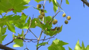 Maple tree crown in sunlight in windy day. Green leaves of sycamore maple on blue sky background, close-up stock video footage