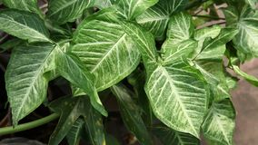Green leaves of Syngonium podophyllum plant. Backgrounds stock video footage