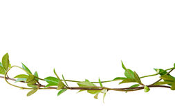 Green leaves on tangled stems Stock Images