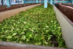 Green leaves of tea drying on factory Royalty Free Stock Photos