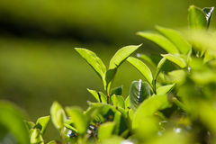 Green leaves of tea Royalty Free Stock Photos