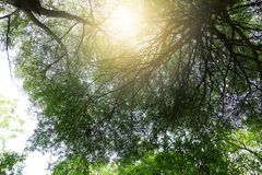 Tree grows big branches. Green leaves of Terminalia ivorensis tree grows big branches Royalty Free Stock Image