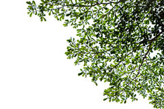 Green leaves of Terminalia ivorensis tree Royalty Free Stock Photography