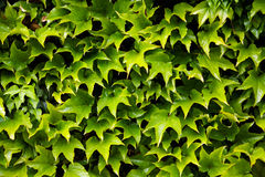 Green leaves texture Royalty Free Stock Photo