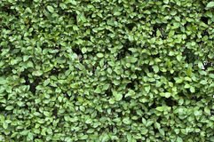 Green leaves texture royalty free stock image