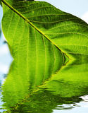 Green leaves texture Royalty Free Stock Photography