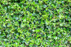 Green leaves texture background Stock Image