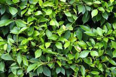 Green leaves texture plane perpendicular shooting Royalty Free Stock Photo