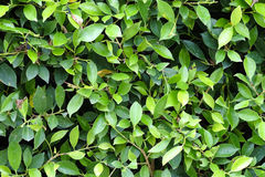 Green leaves texture plane perpendicular shooting Royalty Free Stock Image