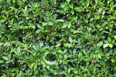 Green leaves texture plane perpendicular shooting Royalty Free Stock Images