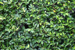 Green leaves texture plane perpendicular shooting Royalty Free Stock Photos