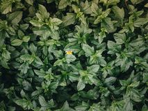 Yellow flower behind green leaves. Green leaves texture with a tiny yellow flower in behind. Leaf texture background Stock Photos