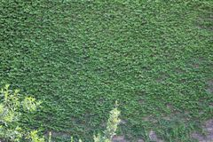 Green leaves of thickets on the wall royalty free stock photo