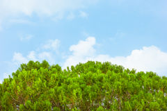 Green leaves of Thuja Trees.  Royalty Free Stock Images