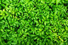 Green leaves. Tiny green leaves natural background Stock Photography