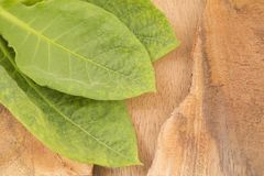 Green leaves of tobacco on the wooden background - Nicotiana tabacum royalty free stock image
