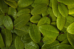 Green leaves Royalty Free Stock Images
