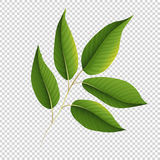 Green leaves on transparent background Stock Image