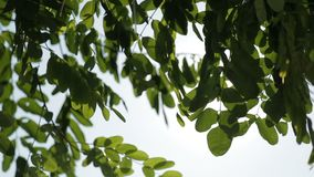 Green leaves on a tree against the sun and blue sky.  stock footage