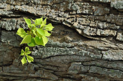 Green leaves on tree bark. Verdant green leaves bud from an old tree Stock Photography