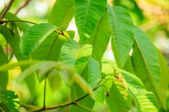 Green leaves on tree Royalty Free Stock Images