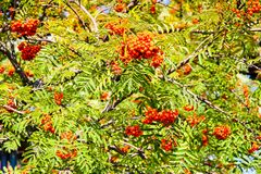 Green leaves of a tree with berries, rowan fruit, summer tree. Natural treats. The rays of the sun fall on non-uniform leaves. Green leaves of a tree with stock photos