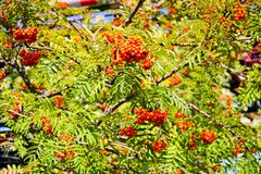 Green leaves of a tree with berries, rowan fruit, summer tree. Natural treats. The rays of the sun fall on non-uniform leaves. Green leaves of a tree with royalty free stock photos
