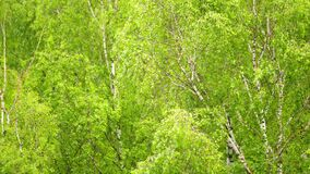 Green leaves of tree. Green birch leaf's swaying in the wind.