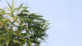 Green leaves on a tree blowing in the breeze. Against a blue sky stock video