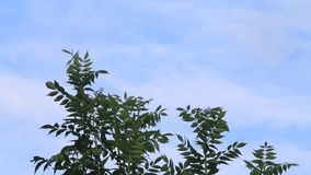 Green leaves on a tree blowing in the breeze against blue sky stock video